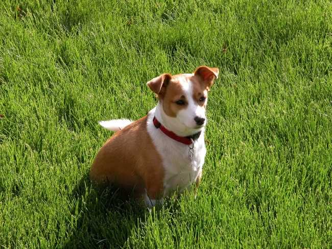 Jack Russell Terrier on Adoptico.com