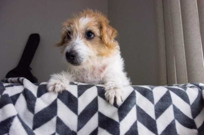 Parson Russell Terrier on Adoptico.com