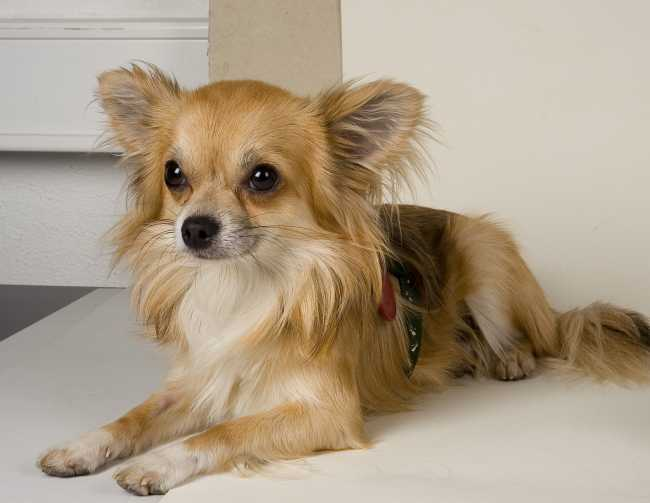 Chihuahua on Adoptico.com