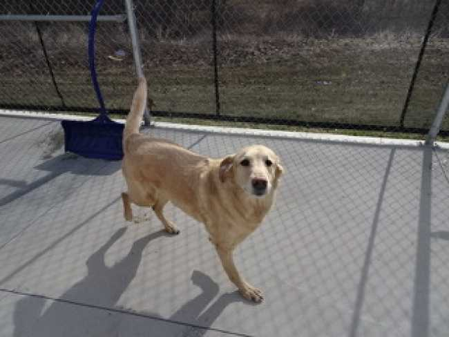 Golden Retriever on Adoptico.com