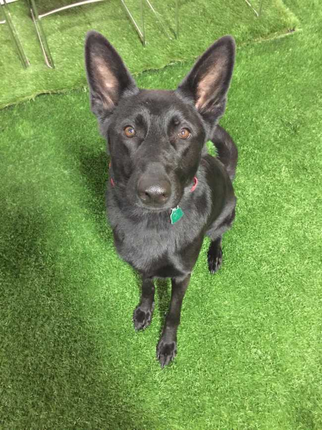 German Shepherd on Adoptico.com