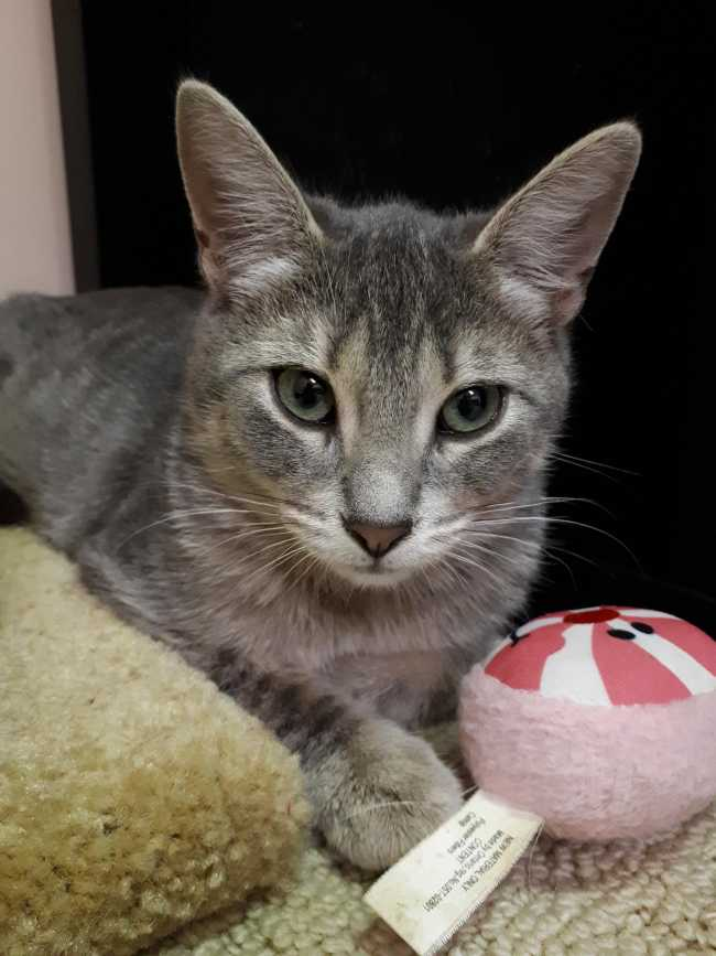 American Shorthair on Adoptico.com
