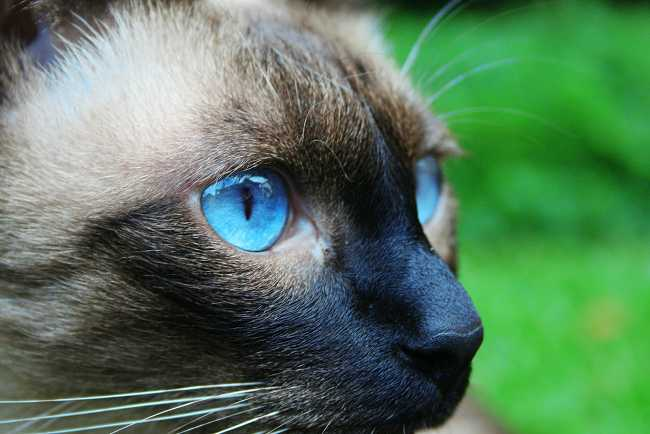 Siamese on Adoptico.com